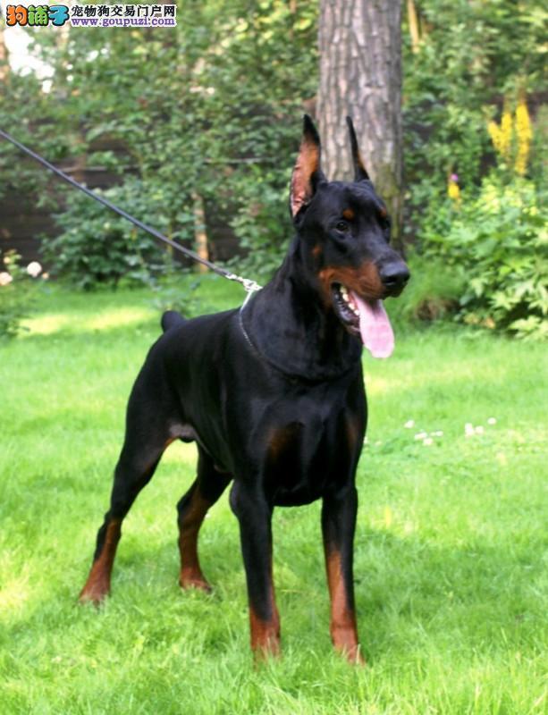 CKU认证犬舍 专业出售极品 杜宾犬幼犬可刷卡可视频