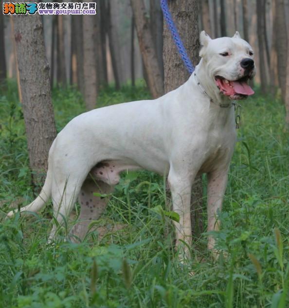 犬舍直销品种纯正健康郑州杜高犬保障品质售后