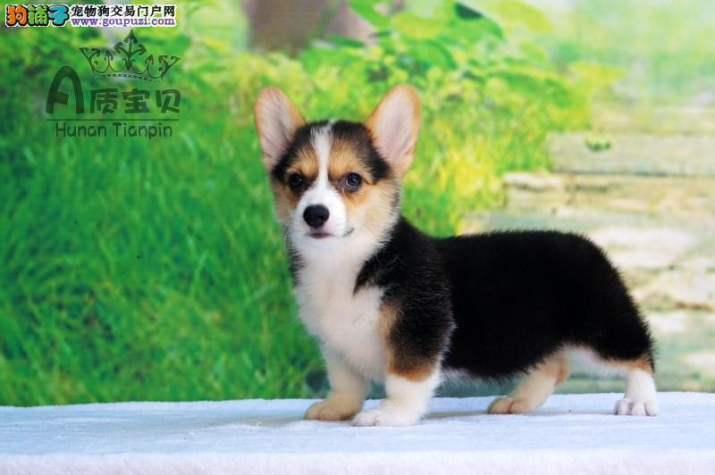 上海售柯基宝宝 威尔士柯基犬两色三色公母都有
