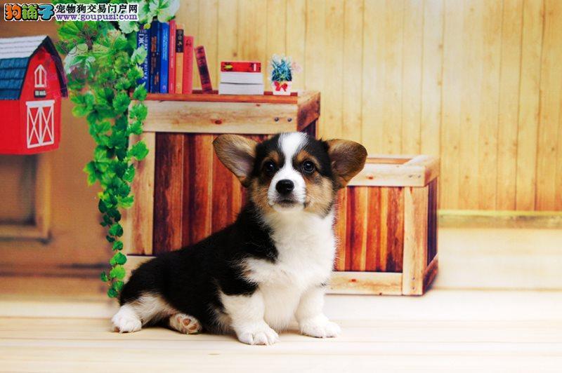 洛阳纯种柯基犬繁殖基地出售两色三色柯基宝宝健康