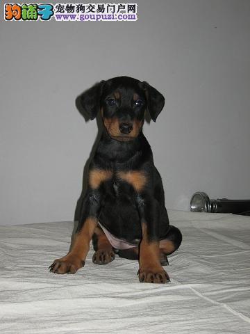 高大英俊的杜宾犬等着你领回家