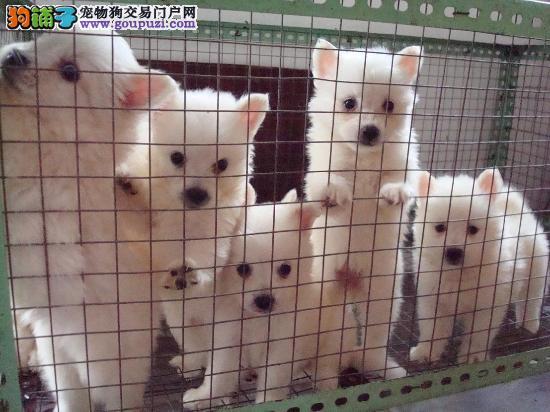 上海售可爱的小银狐犬打好疫苗驱虫弄好 雪白的小型犬