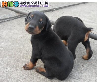 纯种德系德宾犬,高品质杜宾犬,终身保证品质