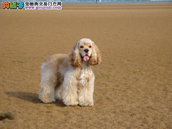 出售纯种健康的潍坊可卡幼犬可以送货上门