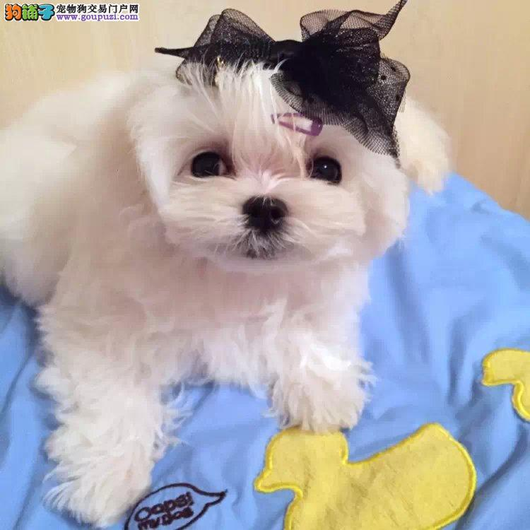 马尔济斯犬最近总发烧应怎么办