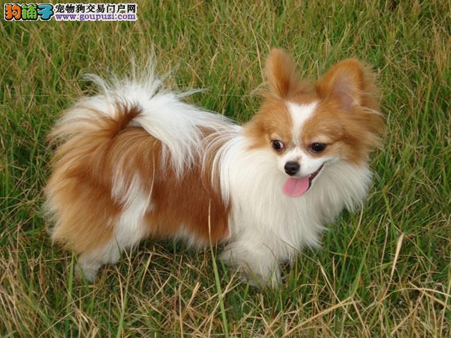 低价热销蝴蝶犬,品质优良血统纯正,微信咨询看狗