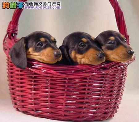 大型专业培育腊肠犬幼犬包健康西安市内免费送货