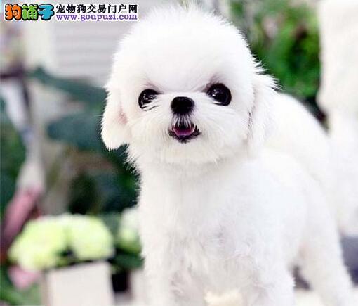 马尔济斯犬成都犬舍繁殖哪里有卖签订质保合同价格优惠