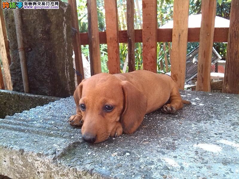 出售纯种的腊肠犬幼犬/腊肠犬价格/公母都有疫苗齐全
