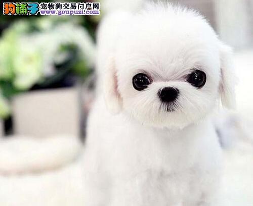 马尔济斯犬成都犬舍繁殖出售签订质保合同价格优惠2