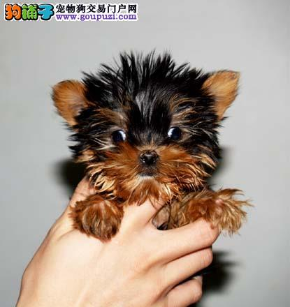 权威机构认证犬舍 专业培育约克夏幼犬全国送货上门