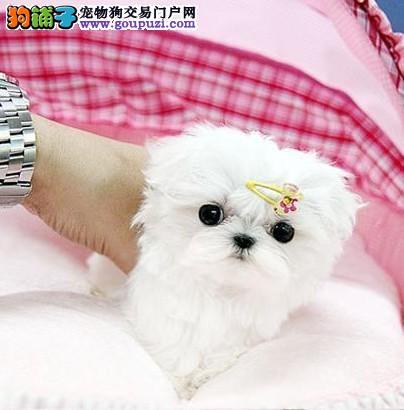 马尔济斯犬 最漂亮的小型犬高品质好血统 犬舍直销
