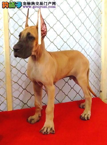 四平赛级大丹犬、高品质、高质量、喜欢的联系