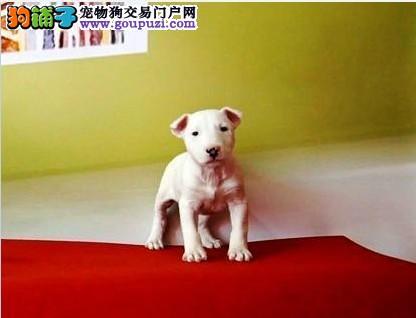 牛头梗幼犬出售 纯白和海盗眼的 多只可选 可视频看狗