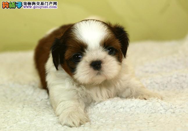 延边州漂亮可爱西施犬转让希望找到有爱心之人保障健康