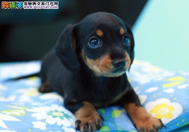 实体店热卖腊肠犬颜色齐全签订终身纯种健康协议
