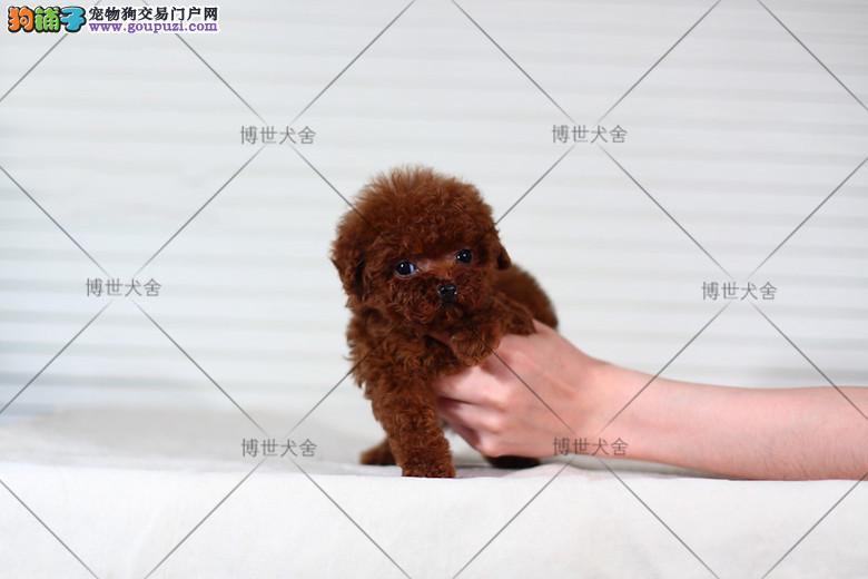 博世犬舍 精品泰迪幼犬 纯种健康 自家繁殖 保证健康