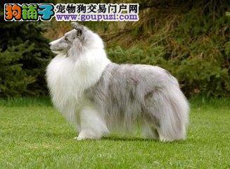 广州正规狗场繁殖纯种喜乐蒂犬1