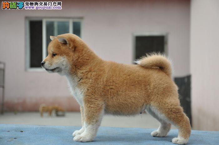 赛级品质 柴犬幼犬出售 狗场直销 纯种健康 签订协议图片