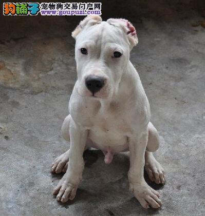 CKU犬舍认证出售纯种杜高犬期待您的光临