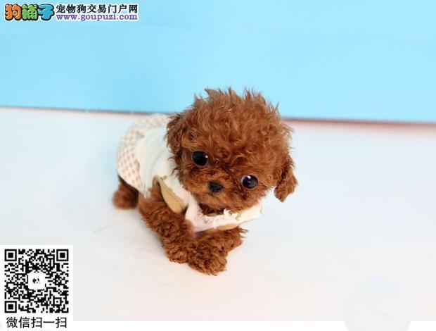 买狗卖狗 出售颜色齐全玩具茶杯贵宾幼犬