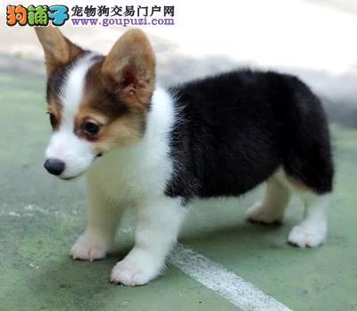 矮脚绅士亮瞎可爱萌 徐州柯基犬宝宝幼犬出售通脖通缝