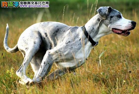 治疗有道 大丹犬患上肠炎应当怎样治疗