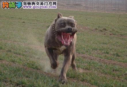 天生我才必有用 谈谈卡斯罗犬都有哪些本能反应