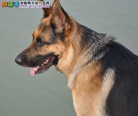 快乐养狗每一天 第一次饲养狼狗应当注意的事情