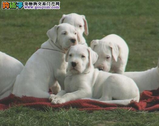 秋冬季节如何管理杜高犬的衣食住行