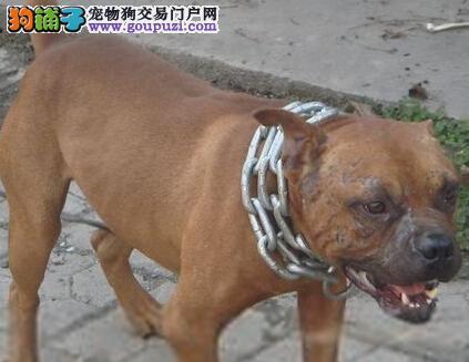 犬中女王 五个步骤让比特犬美丽变身