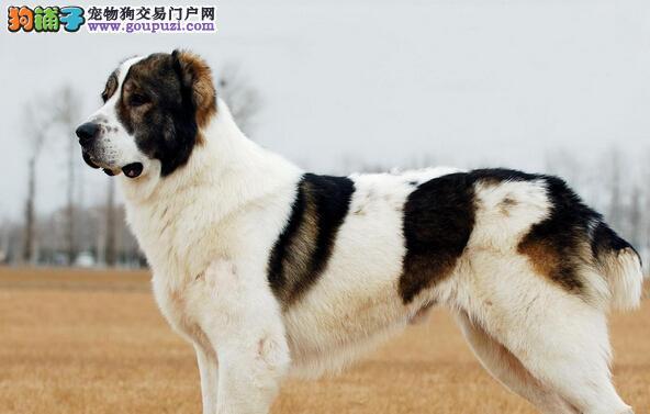 家庭必备 了解中亚牧羊犬不吃饭的原因及解决方法