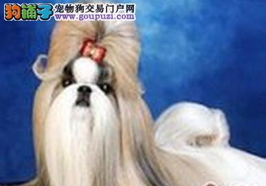 美丽俏佳人 新宠主给西施犬梳理毛发的七大注意事项