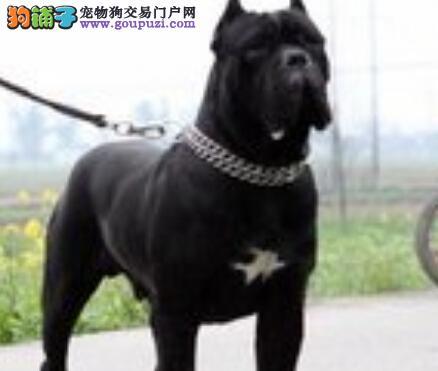 宠物管教支招如何让卡斯罗犬顺利吃药