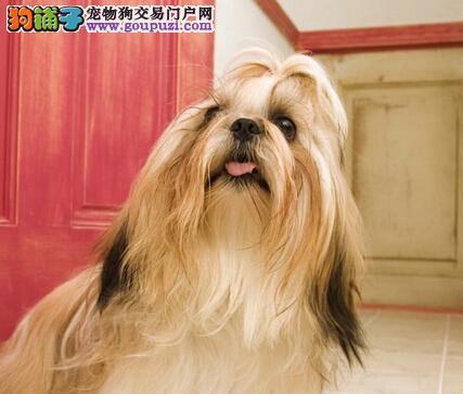 周末训练法 西施犬如何快速学会文明如厕的好习惯