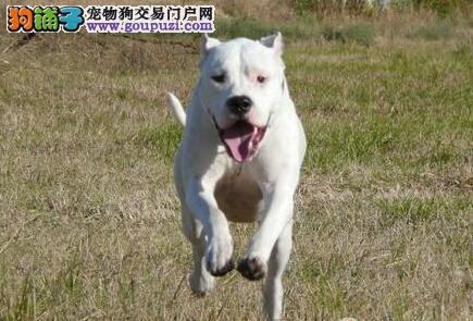 养犬提示 解决杜高犬不吃东西的最佳方法