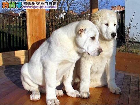 知晓中亚牧羊犬食粪症的原因 教狗狗改掉恶习
