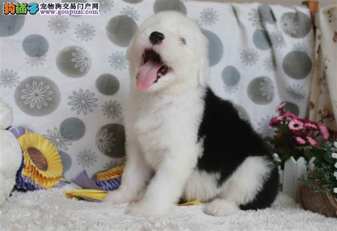 基地出售纯白头古牧犬 ,品相好, 健康质量保证