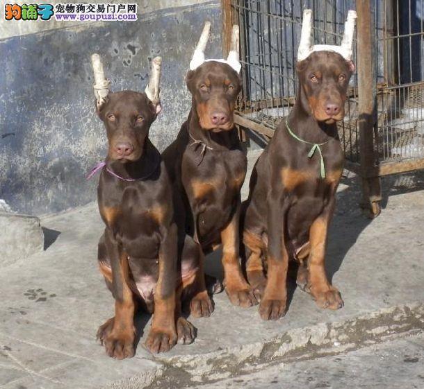大型专业培育杜宾犬幼犬包健康当日付款包邮