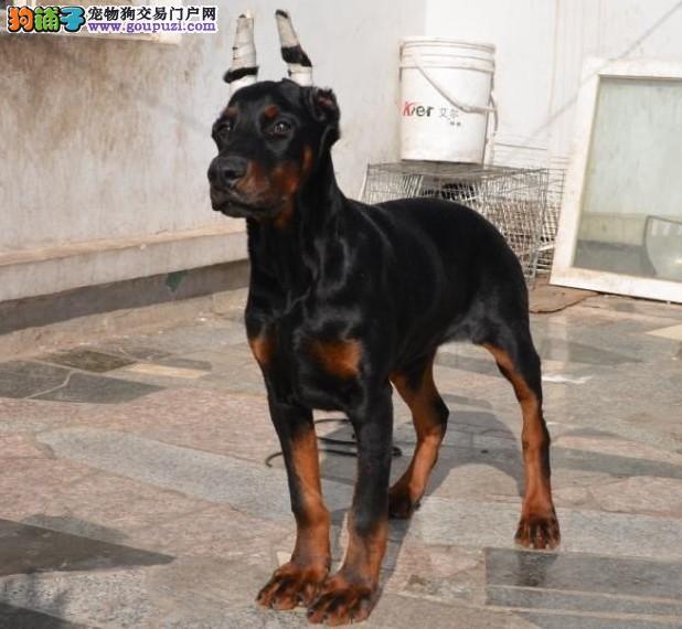 廊坊养殖场直销完美品相的杜宾犬签订协议终身质保