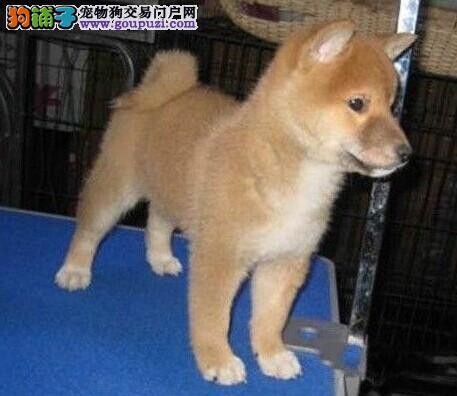 出售双血统日系柴犬 可爱微笑柴犬幼崽 长相优美 可视频选狗