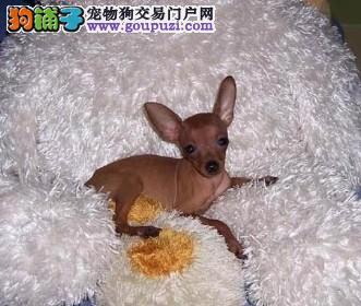 知名犬舍出售多只赛级小鹿犬终身完善售后服务