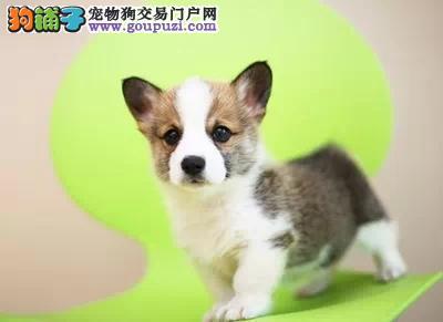 专注于培育中高端宠物基地 纯种柯基幼犬待售
