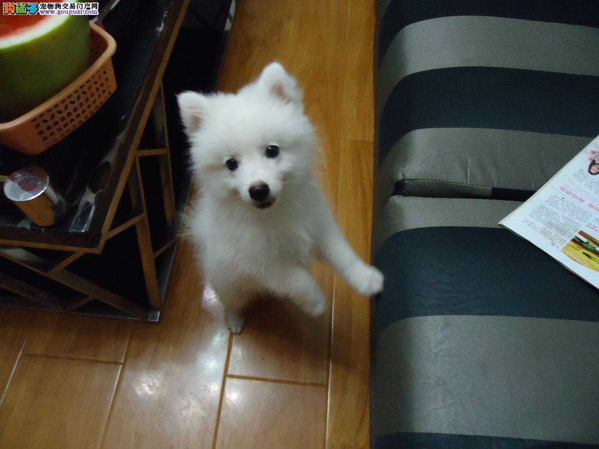 南京有纯种银狐犬卖么 南京什么地方有卖银狐的 多少钱