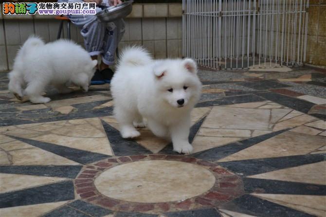 三亚女神最爱萨摩耶幼犬转让 价格优美 有意的来电