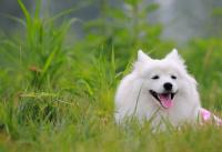超漂亮!纯种银狐犬幼犬出售!1