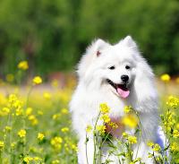 超漂亮!纯种银狐犬幼犬出售!2