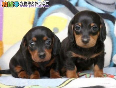 正规养殖基地出售高品质纯种腊肠犬幼犬健康质保