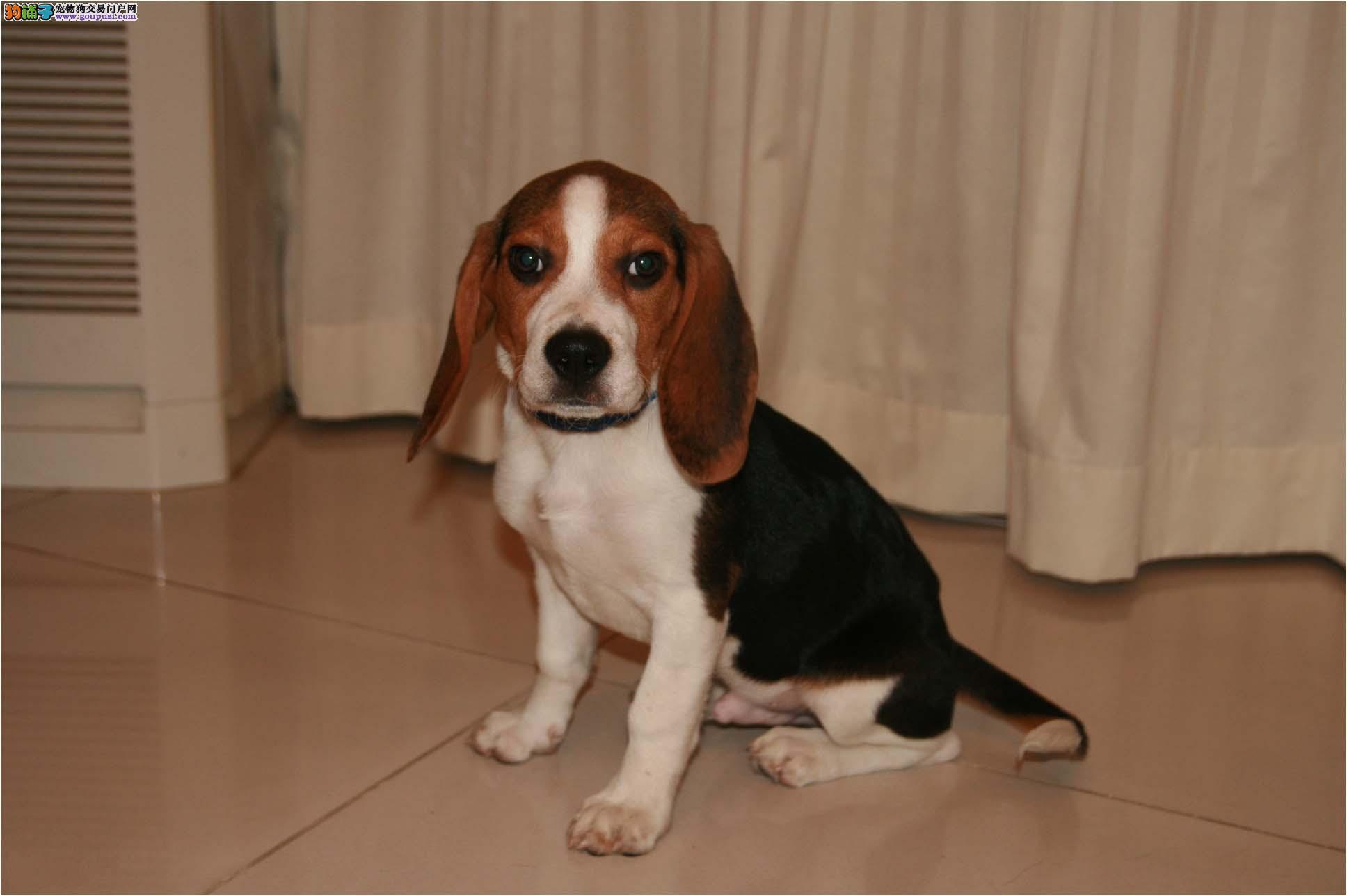 比格犬玉树州CKU认证犬舍自繁自销品质血统售后均有保障