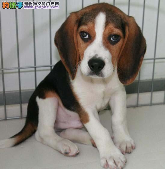 北京出售纯种米格鲁比格犬幼犬 健康信誉诚信保证